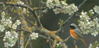 Gekraagde roodstaart in pruimenbloesem - Elwin van der Kolk