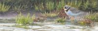 Bontbekplevier waddenserie - Elwin van der Kolk